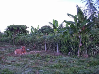 adjacent banana plantation small